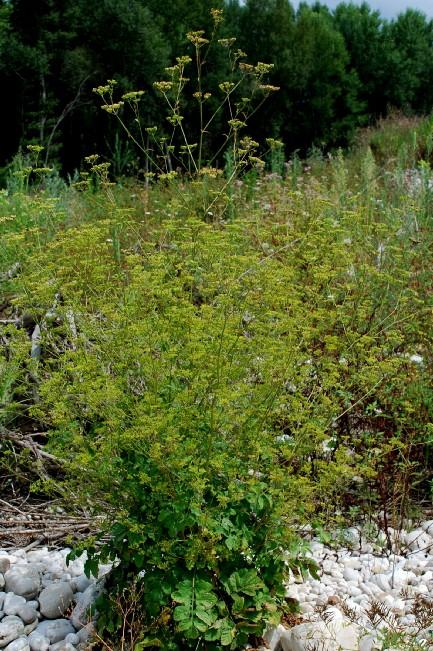 Pastinaca sativa subsp. urens 4
