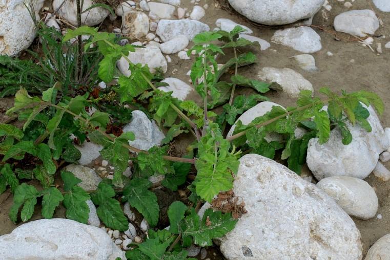 Pastinaca sativa subsp. urens 8