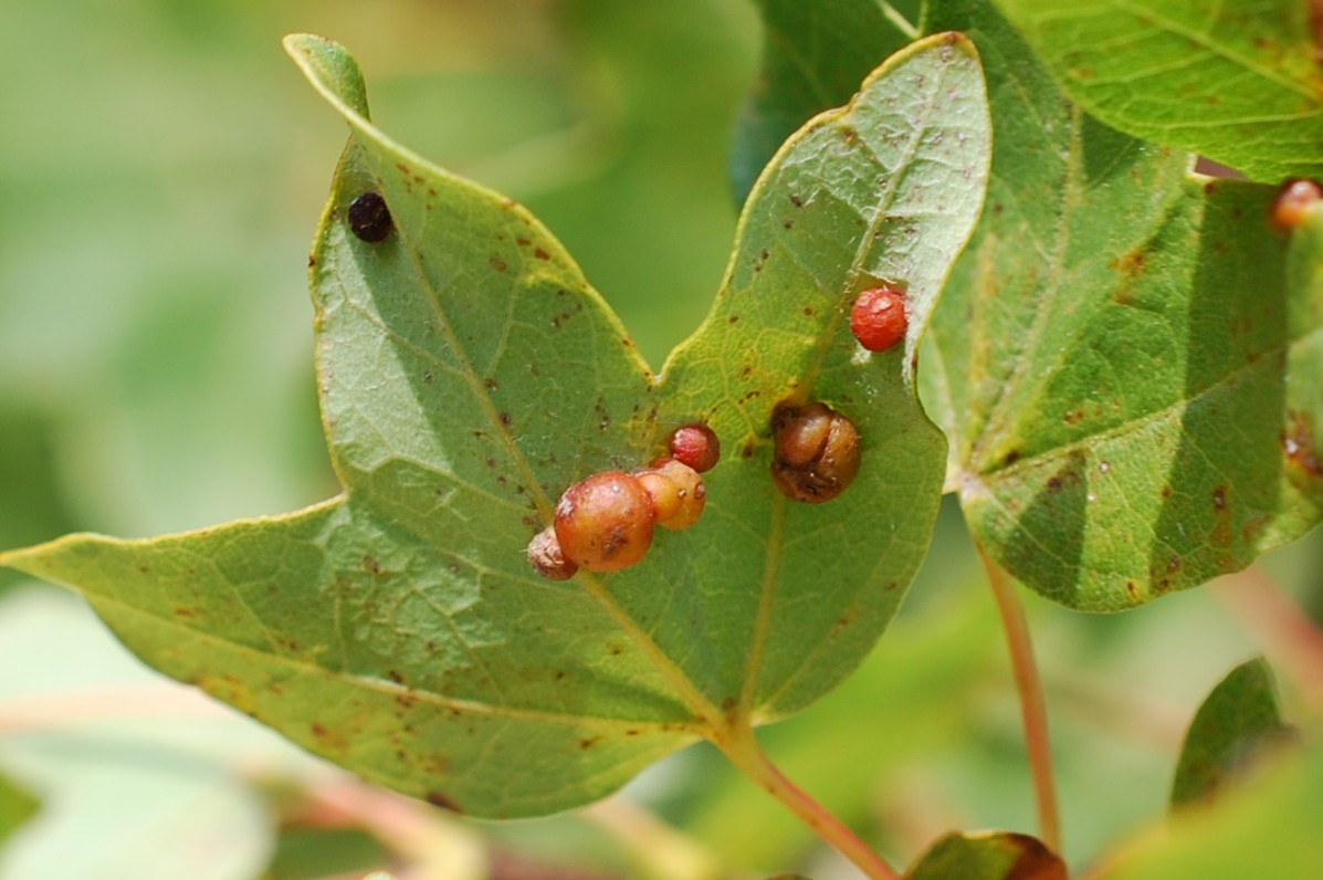 Pediaspis aceris - Hymenoptera, Cynipidae - (Acer monspessulanum) 3