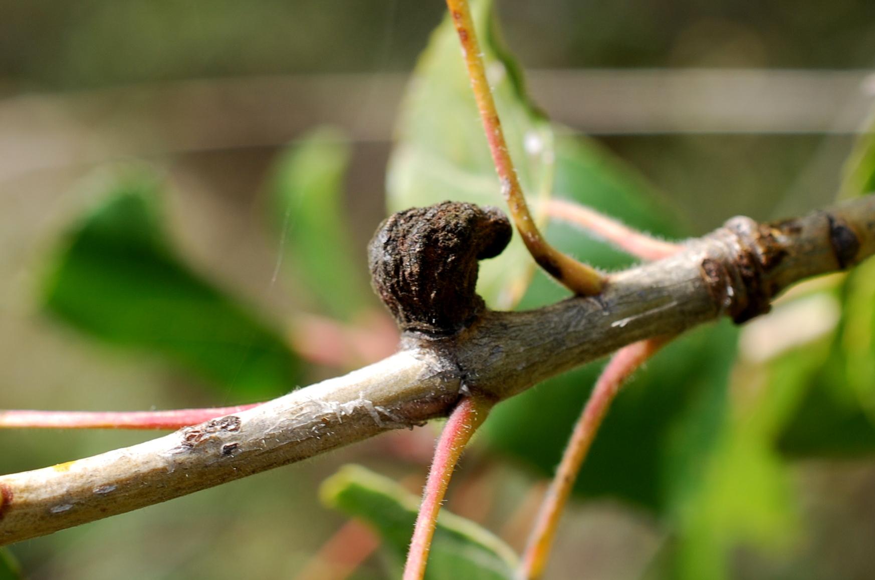 Pemphigus sp. - Rhynchota (Homoptera), Aphidoidea 2