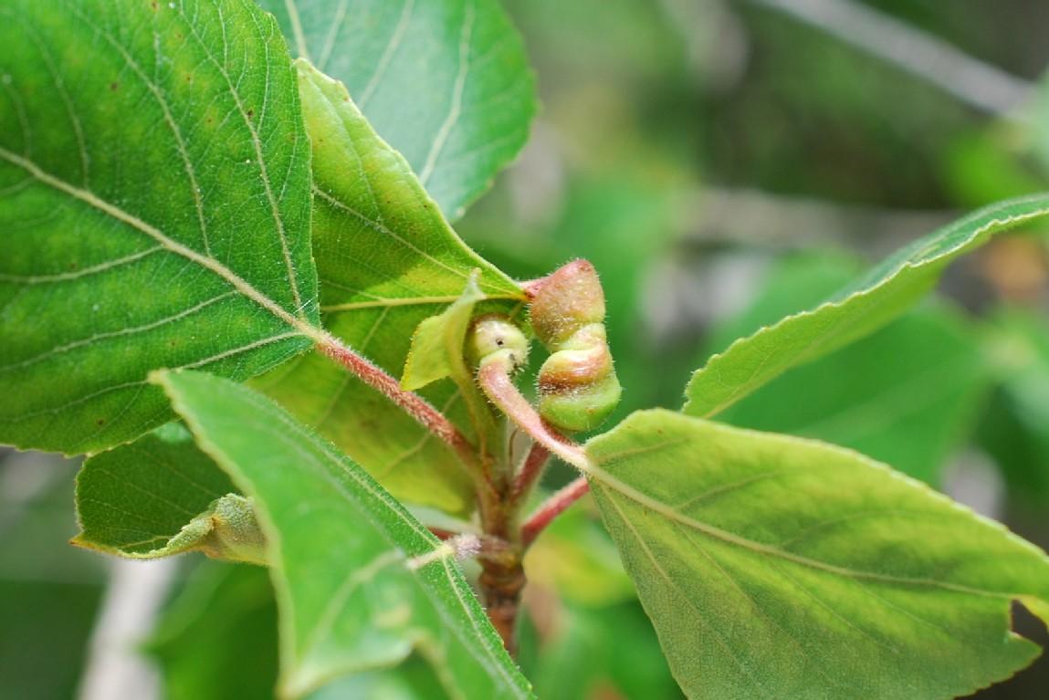 Pemphigus spyrothecae - Rhynchota (Homoptera), Aphidoidea 2