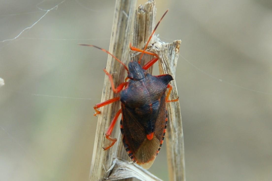 Pentatoma rufipes - Pentatomidae