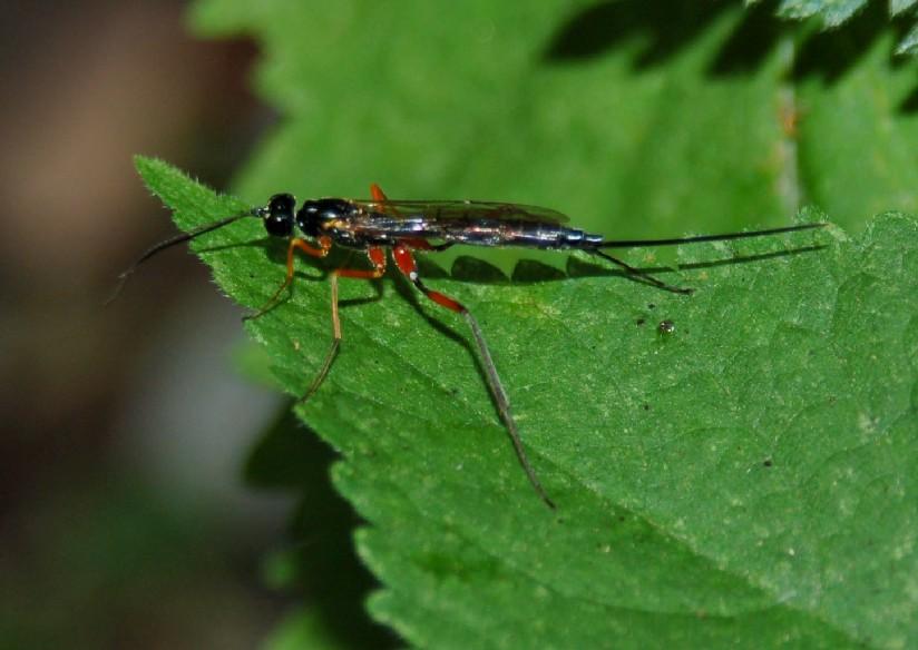 Perithous albicinctus - Ichneumonidae