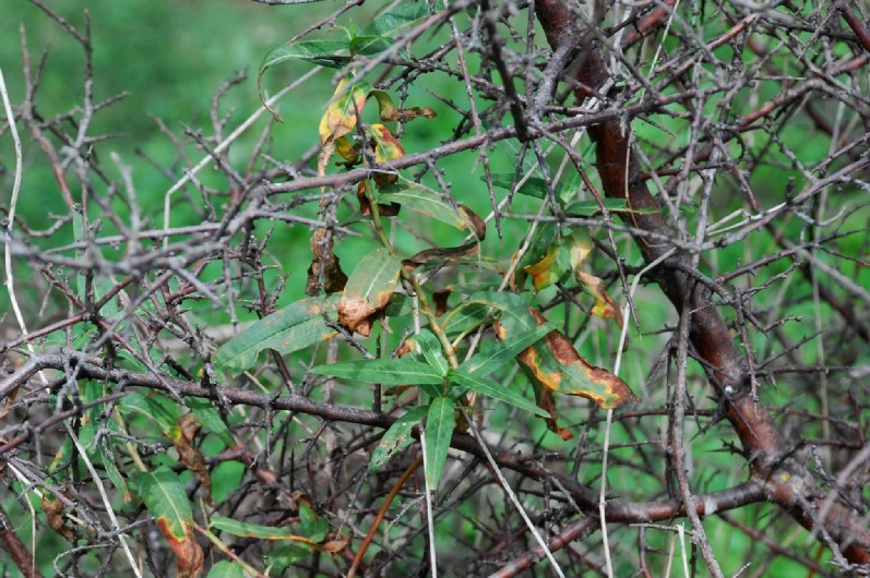 Persicaria amphibia 15
