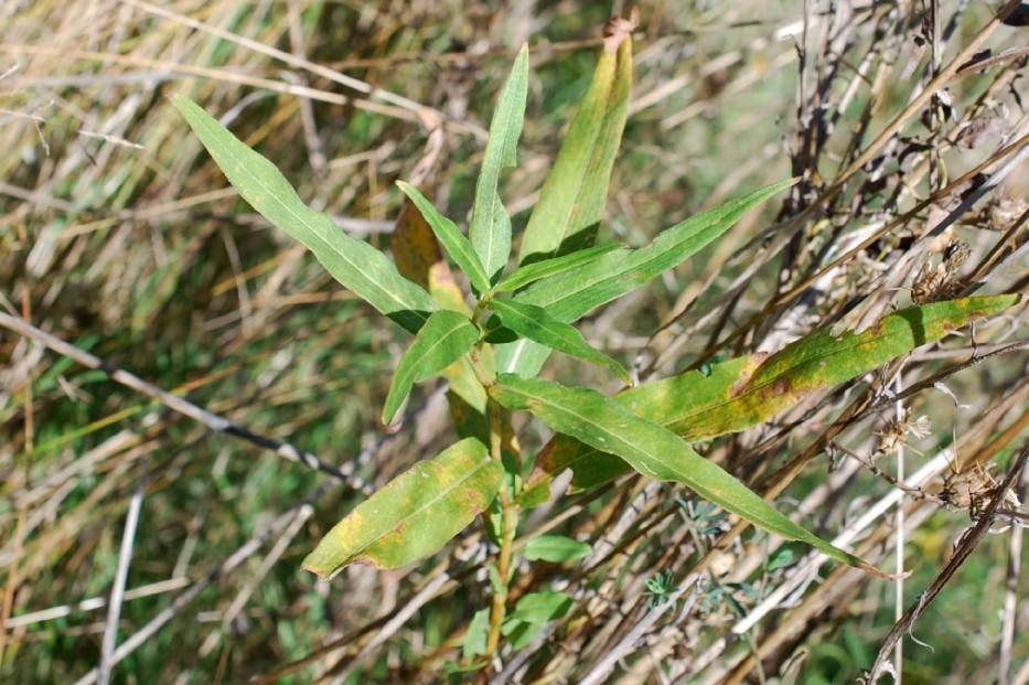 Persicaria amphibia 18