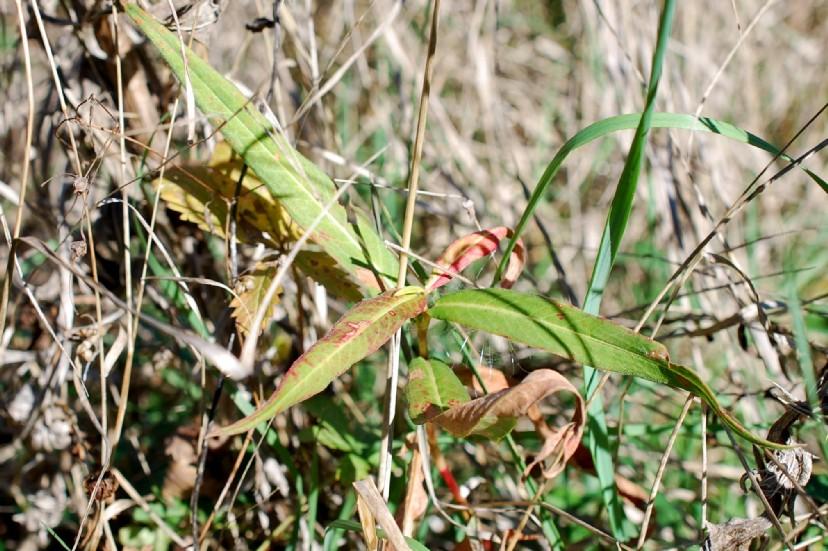 Persicaria amphibia 20