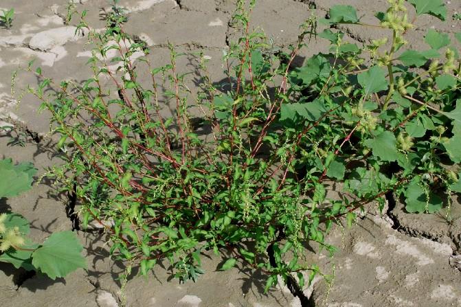 Persicaria hydropiper 11