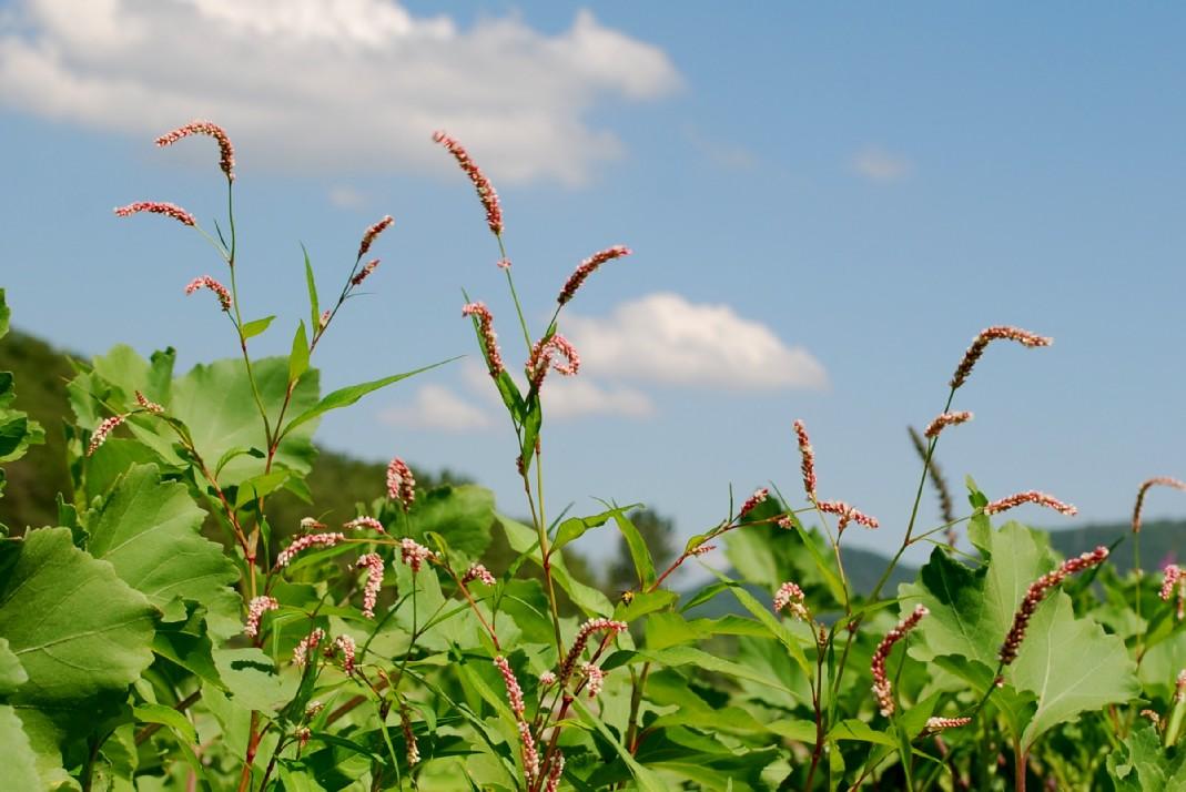 Persicaria lapathifolia subsp. lapathifolia