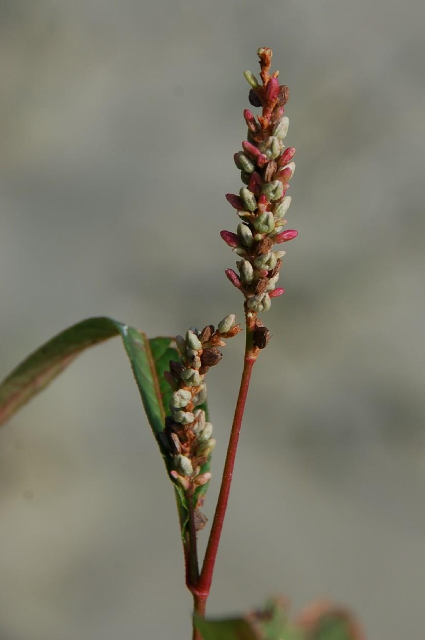Persicaria lapathifolia subsp. lapathifolia 13