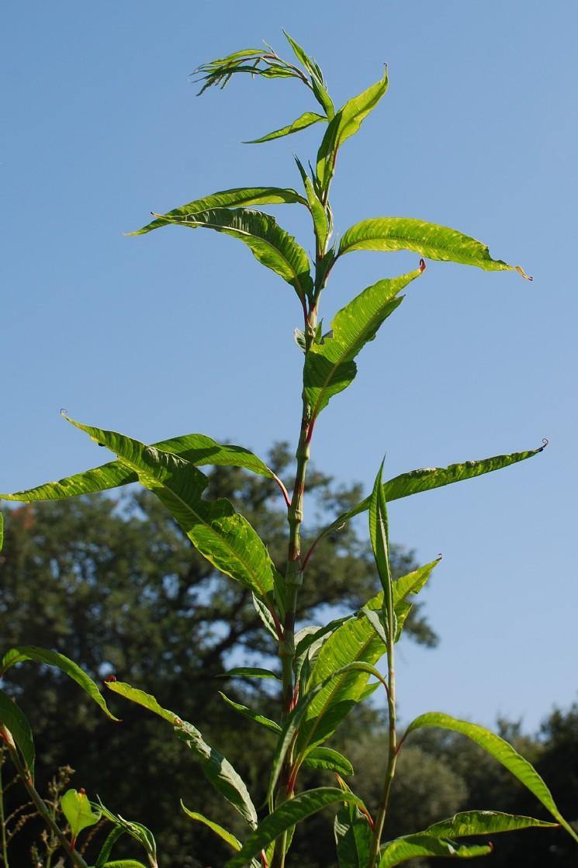 Persicaria lapathifolia subsp. lapathifolia 28