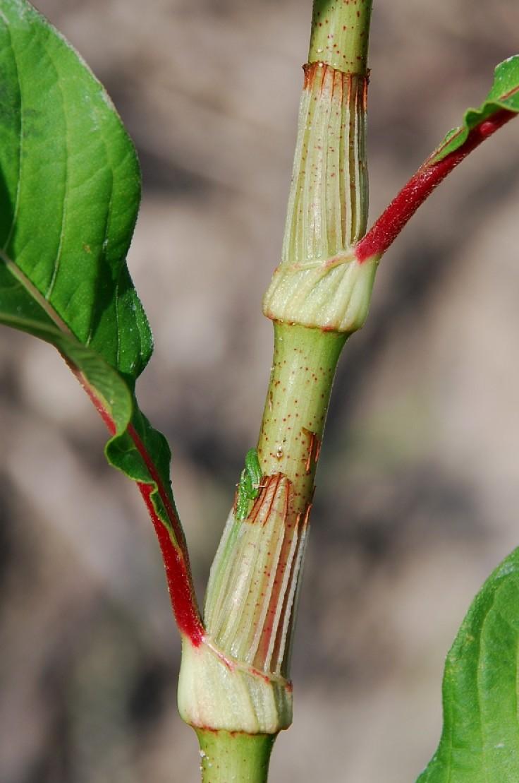 Persicaria lapathifolia subsp. lapathifolia 29