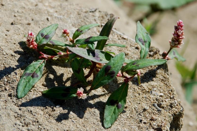 Persicaria lapathifolia subsp. lapathifolia 8