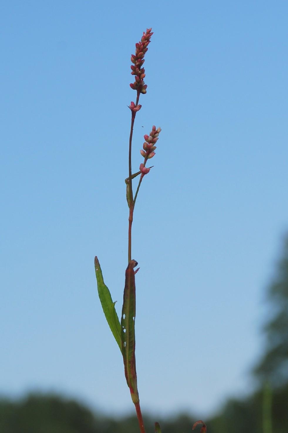 Persicaria maculosa 2