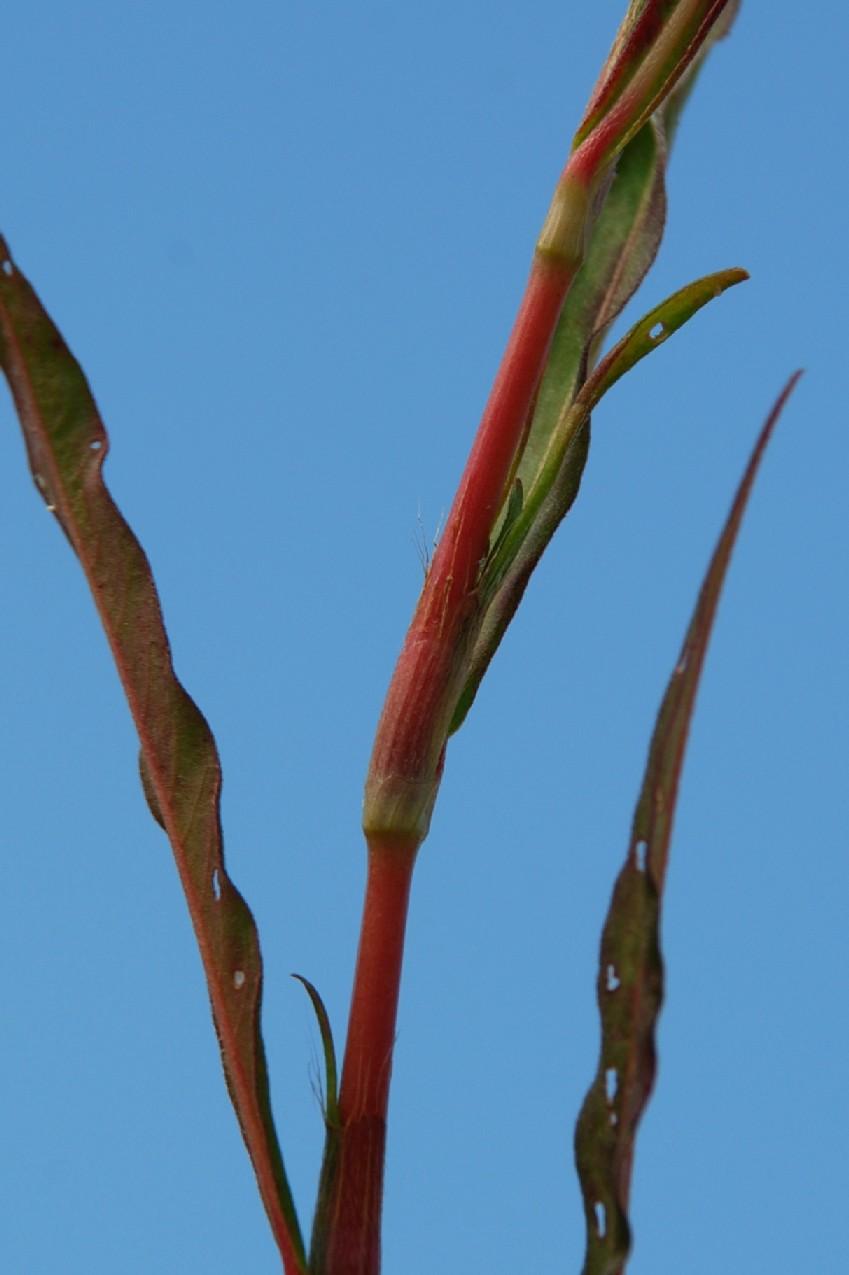 Persicaria maculosa 5