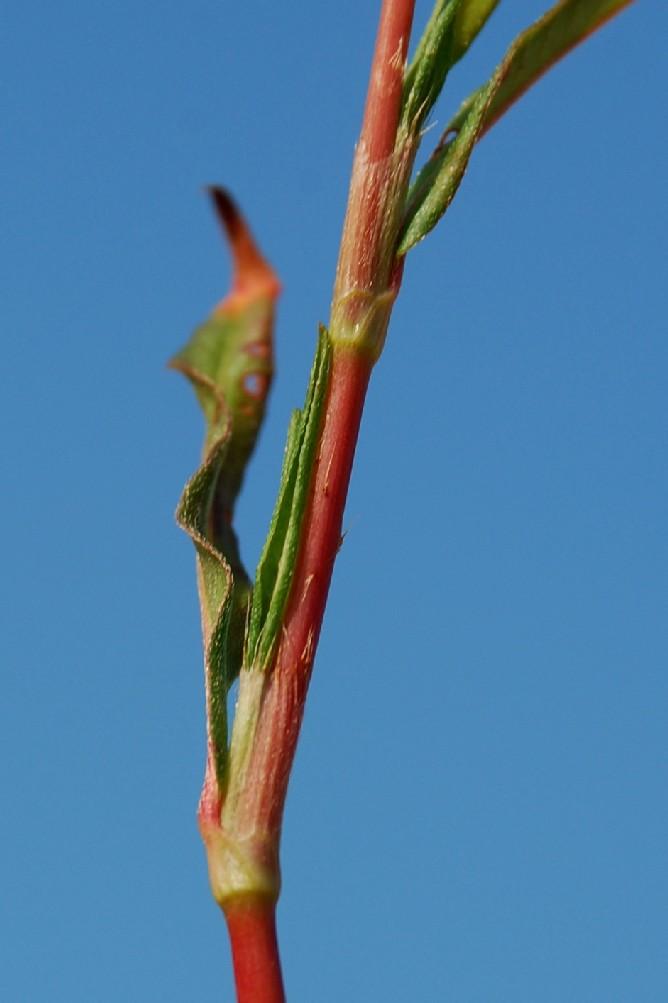 Persicaria maculosa 6