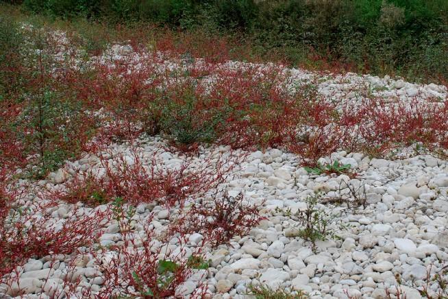 Persicaria maculosa 8