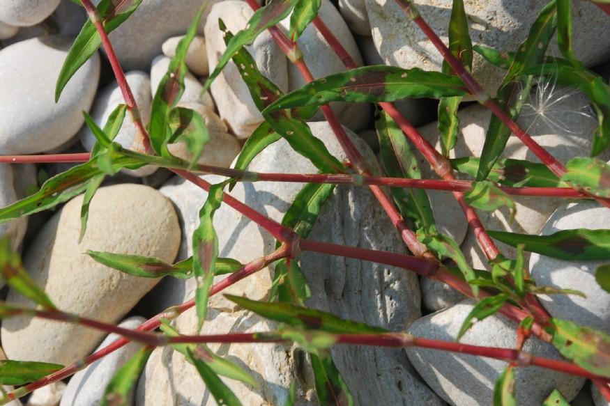 Persicaria maculosa 9