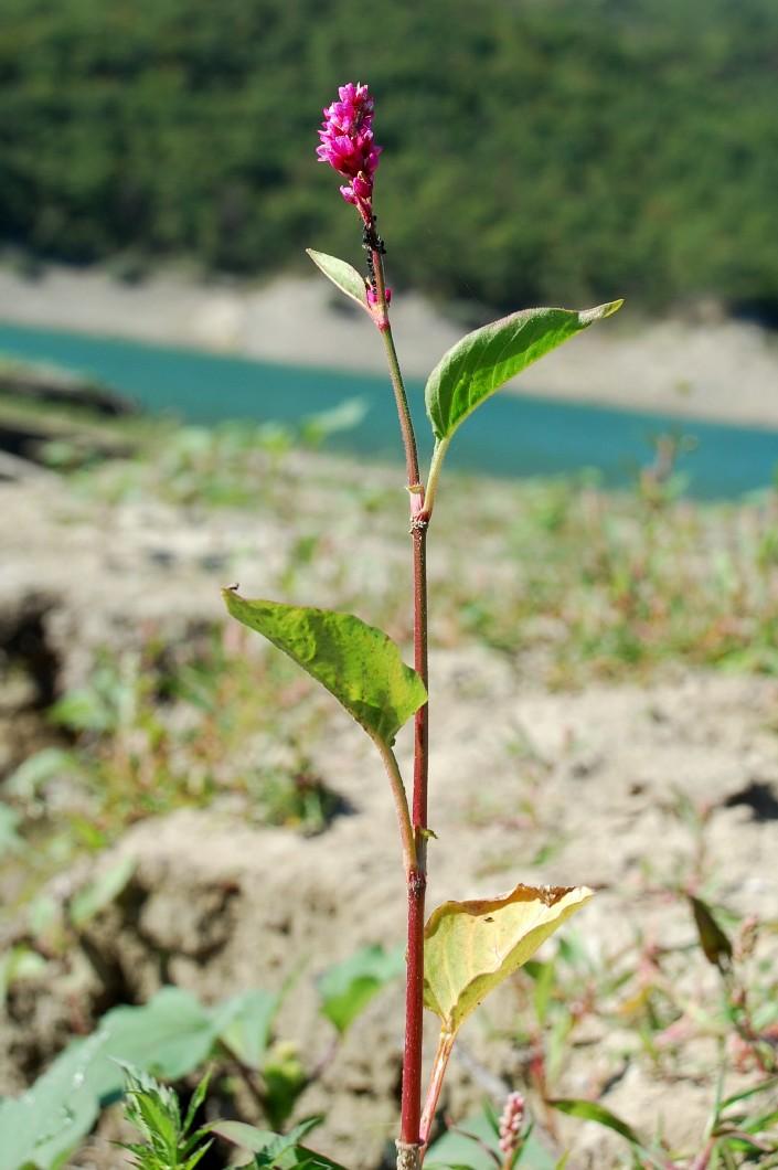 Persicaria orientalis 4
