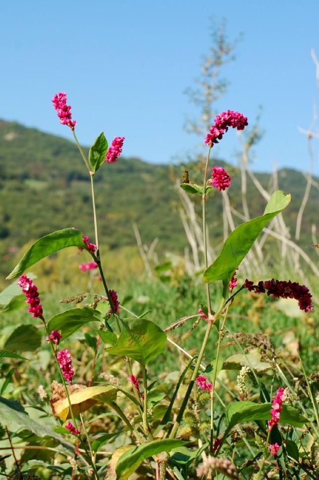 Persicaria orientalis 5
