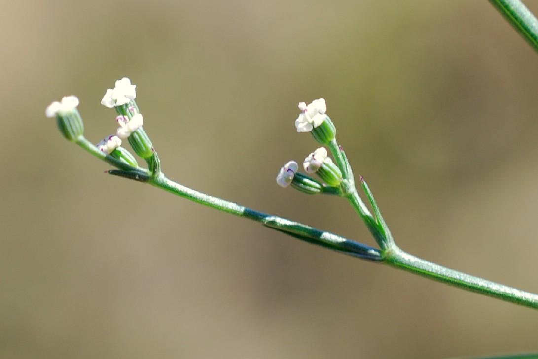 Petroselinum segetum