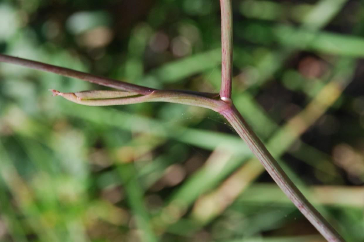 Peucedanum cervaria 10