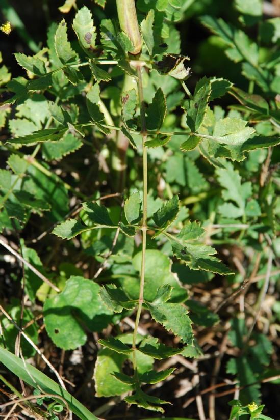 Peucedanum cervaria 15