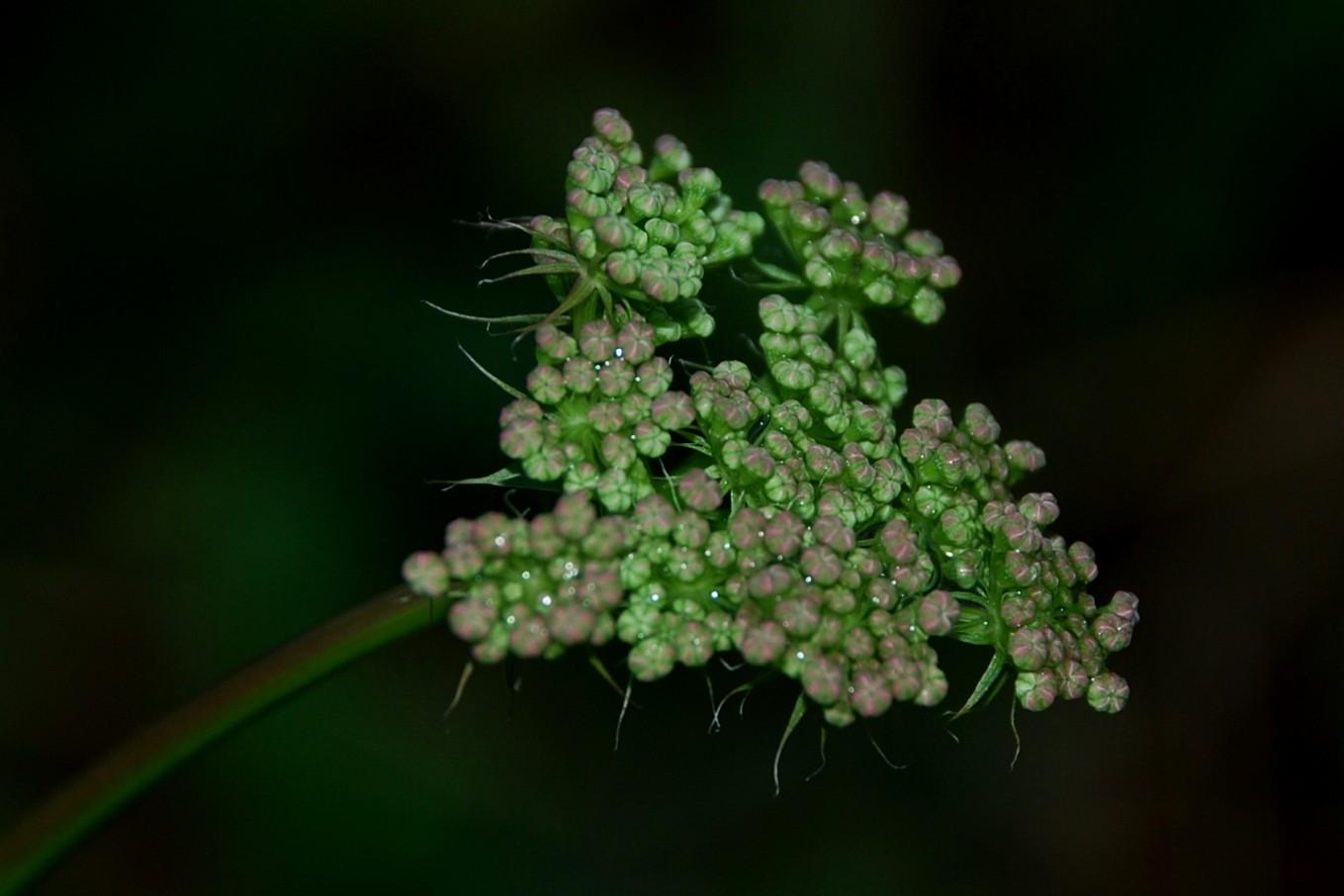 Peucedanum cervaria 19