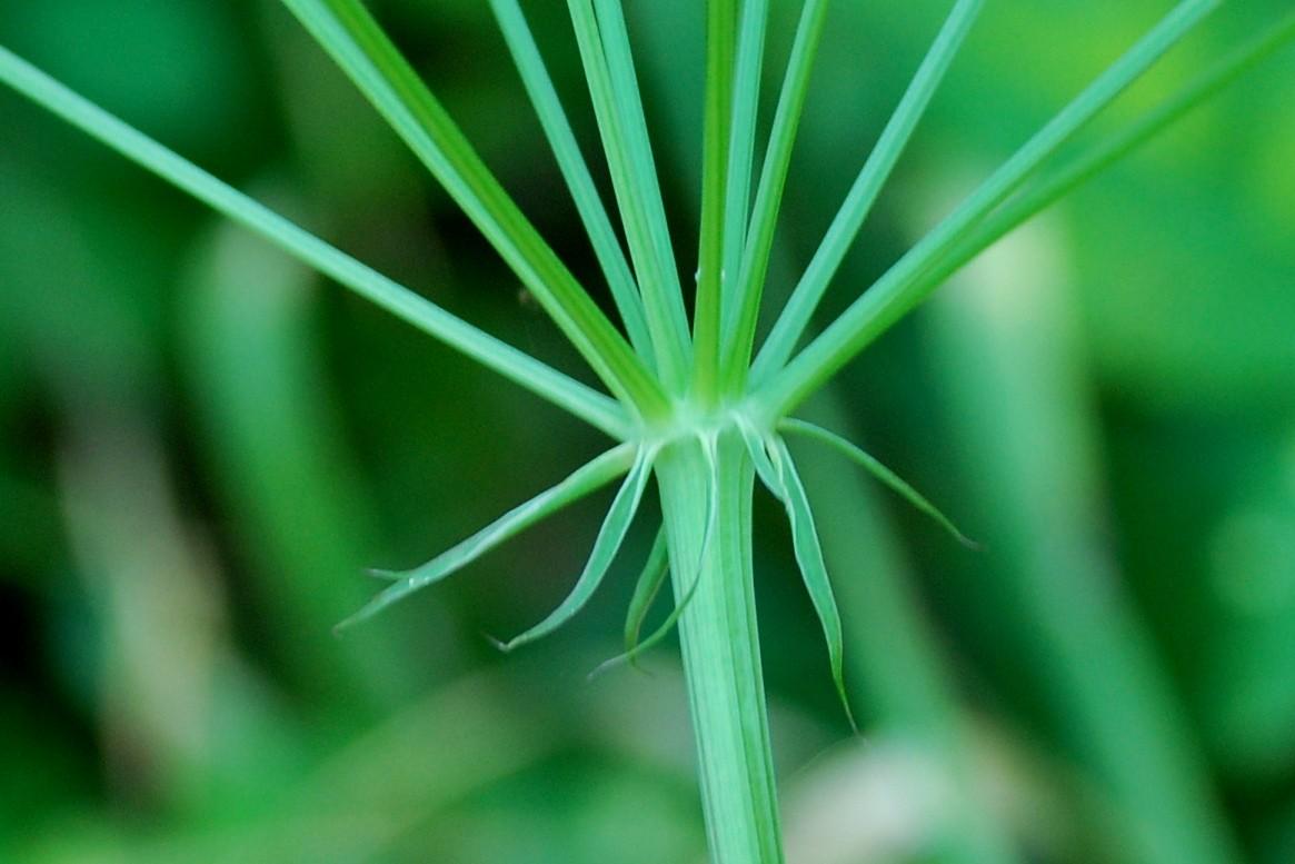 Peucedanum cervaria 21