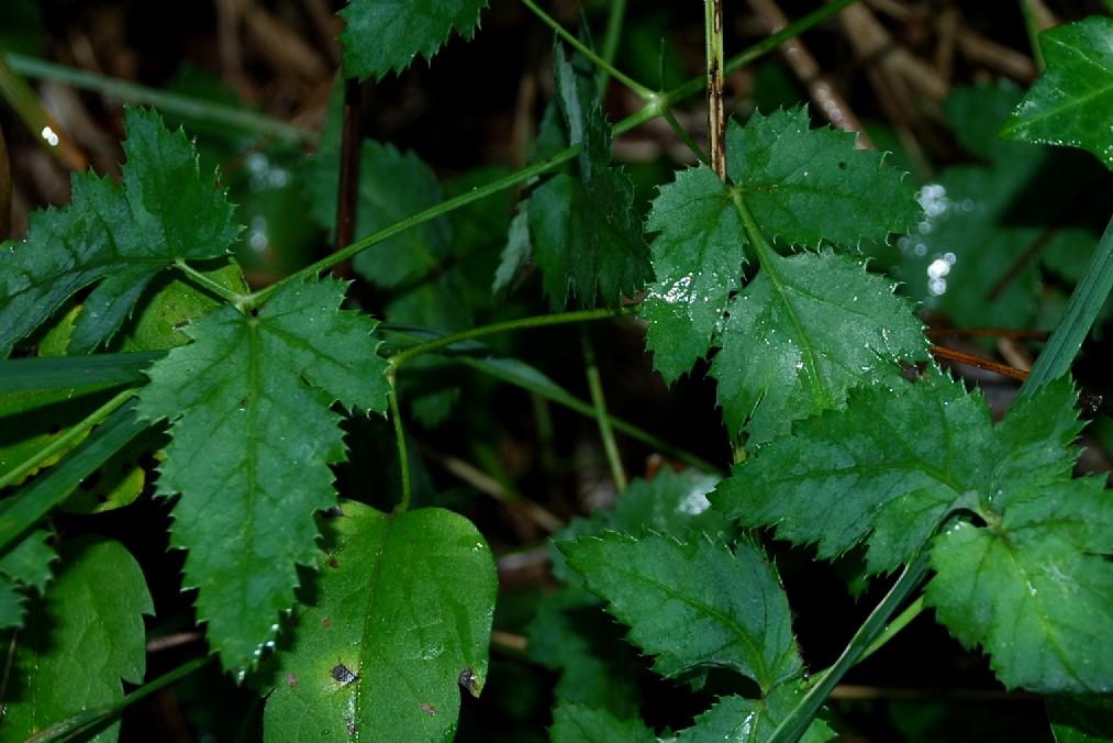 Peucedanum cervaria 22