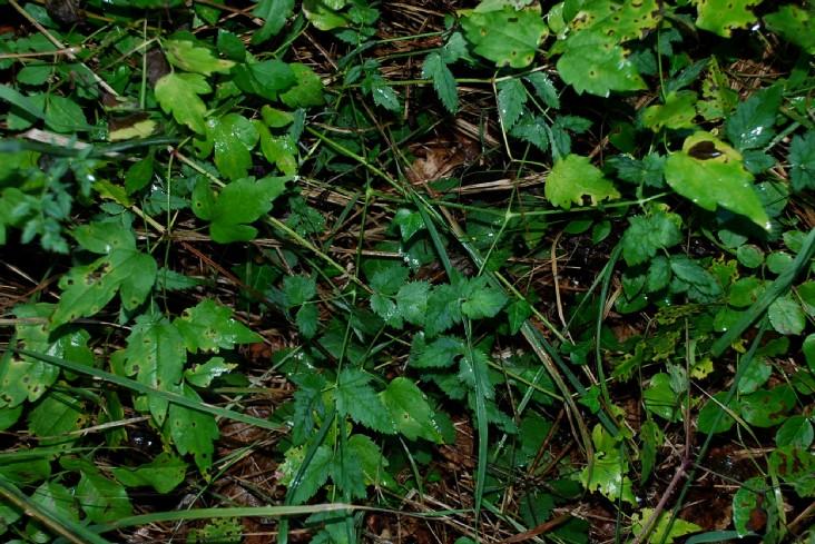 Peucedanum cervaria 26