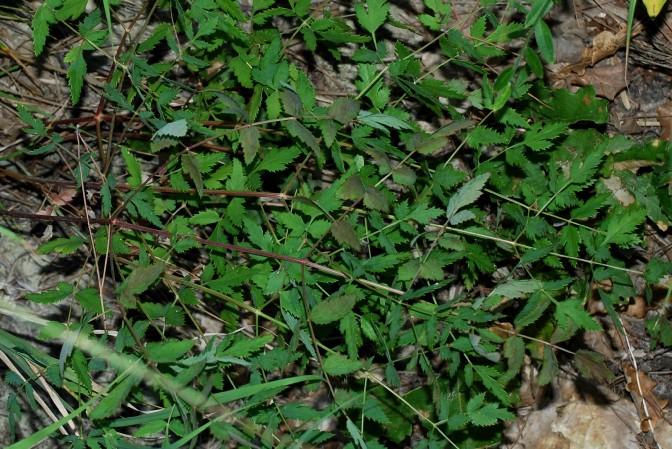 Peucedanum cervaria 3
