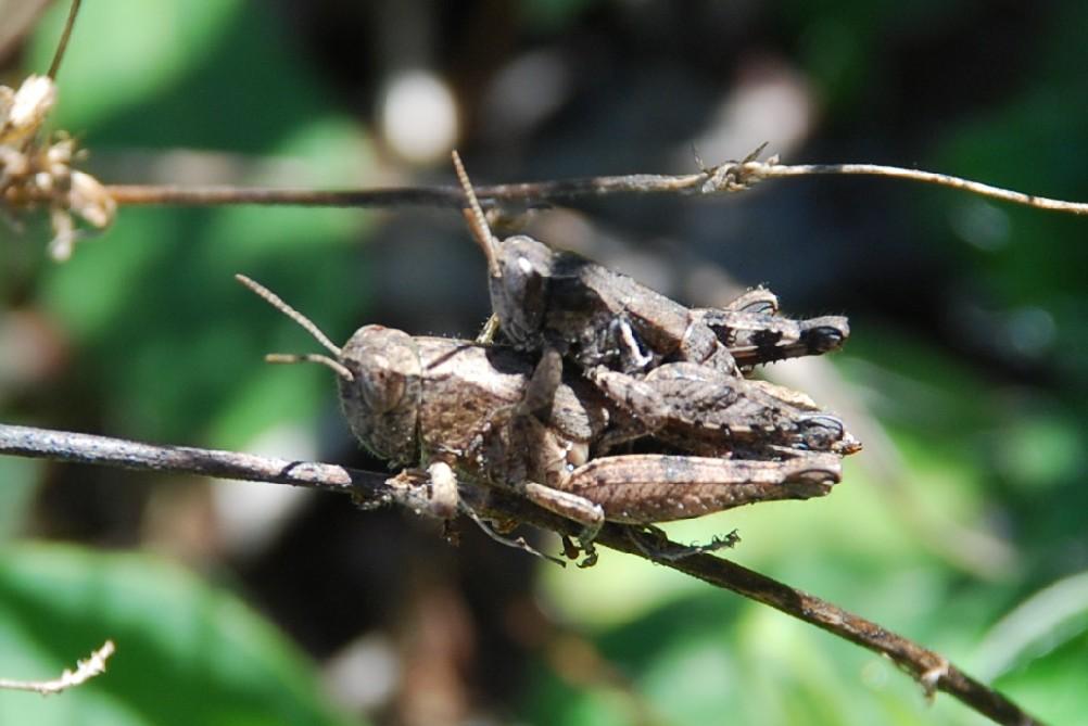 Pezotettix giornai -  Acrididae