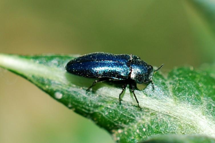 Phaenops cyanea - Buprestidae