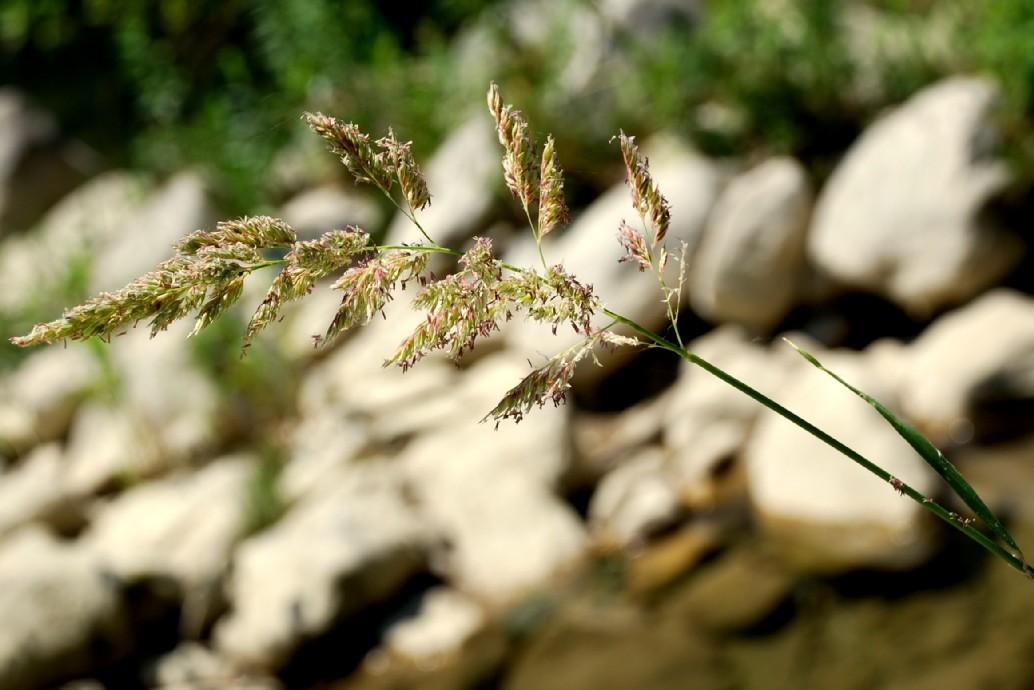 Phalaris arundinacea subsp. arundinacea