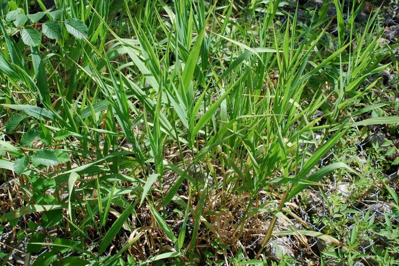 Phalaris arundinacea subsp. arundinacea 11