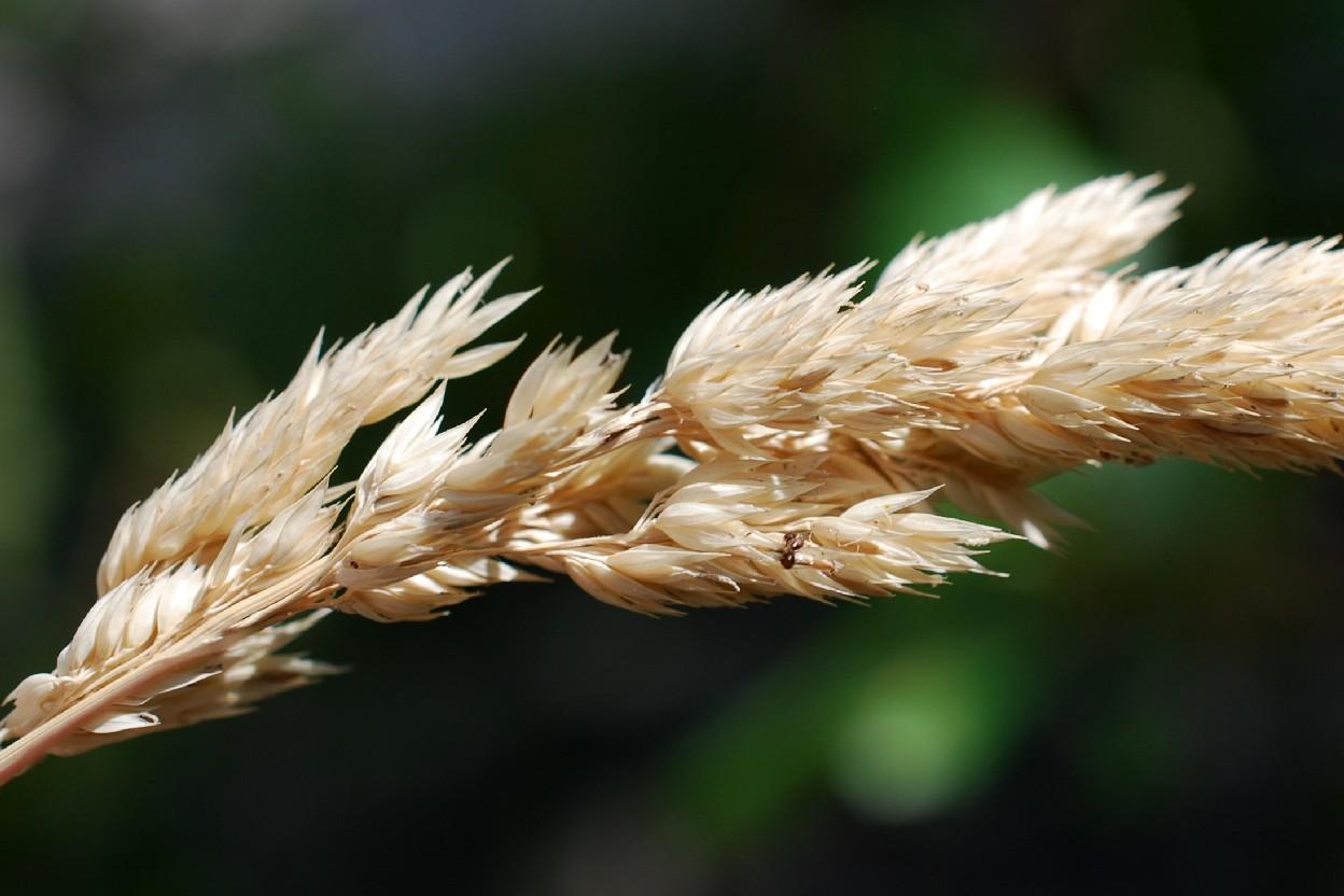Phalaris arundinacea subsp. arundinacea 12
