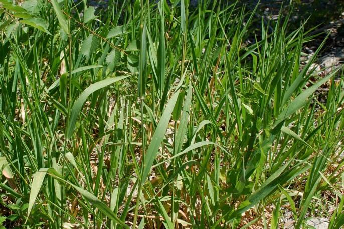 Phalaris arundinacea subsp. arundinacea 8