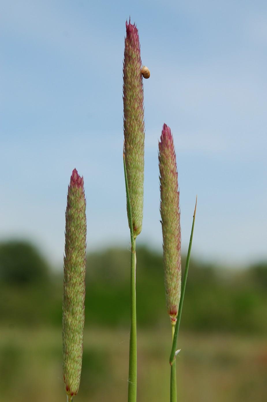 Phalaris coerulescens 7