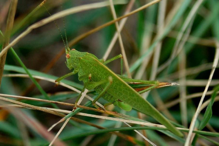 Phaneroptera falcata - Phaneropteridae