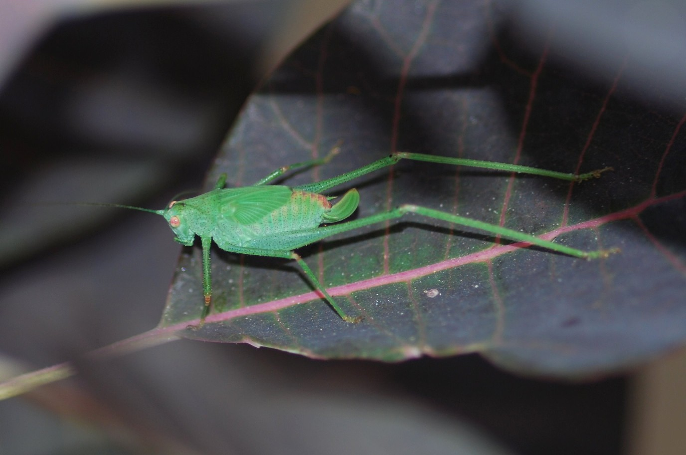 Phaneroptera sp.  - Phaneropteridae