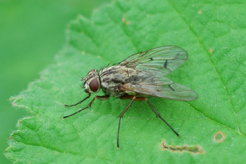 Phaonia fuscata - Muscidae