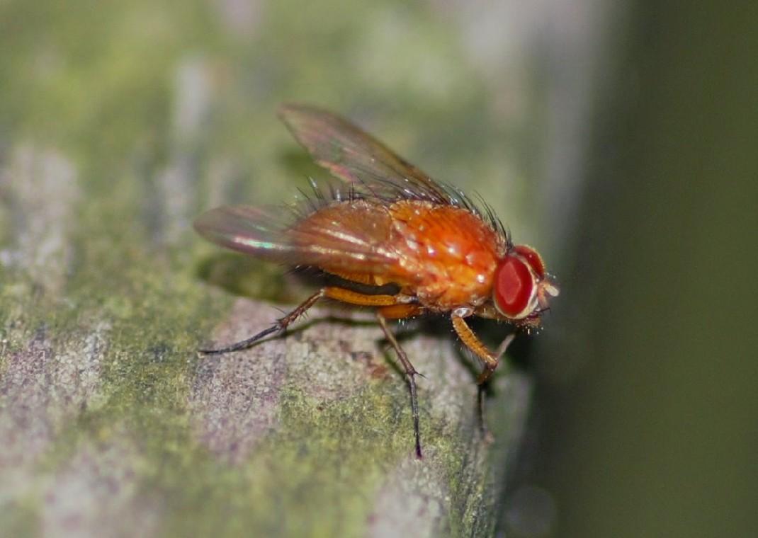 Phaonia pallida - Muscidae
