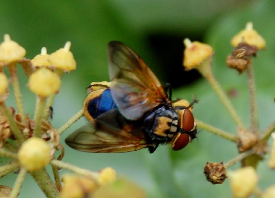 Phasia aurigera - Tachinidae