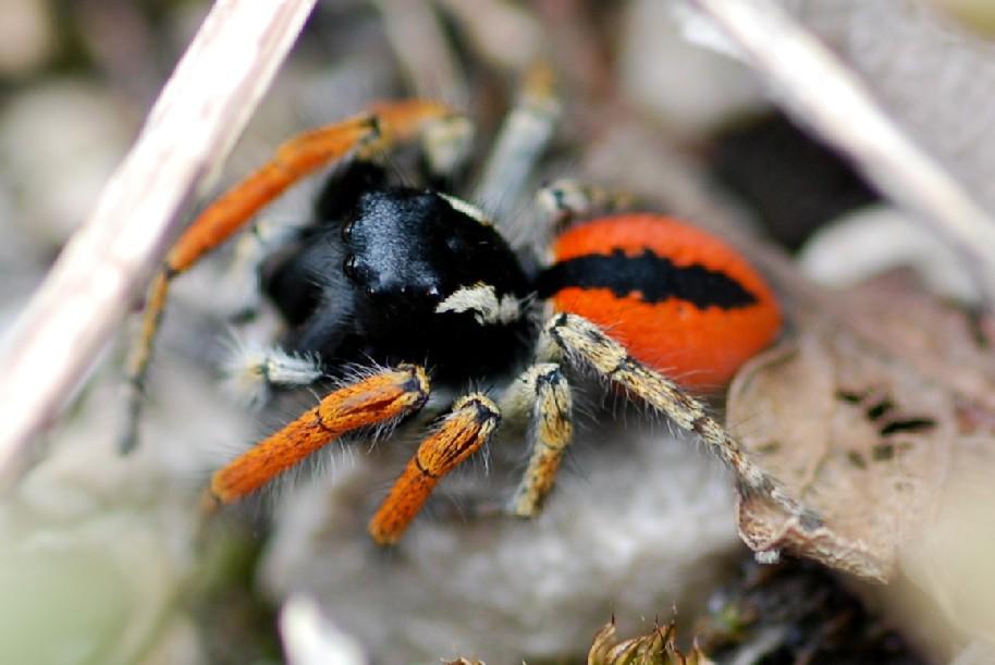 Philaeus chrysops - Salticidae