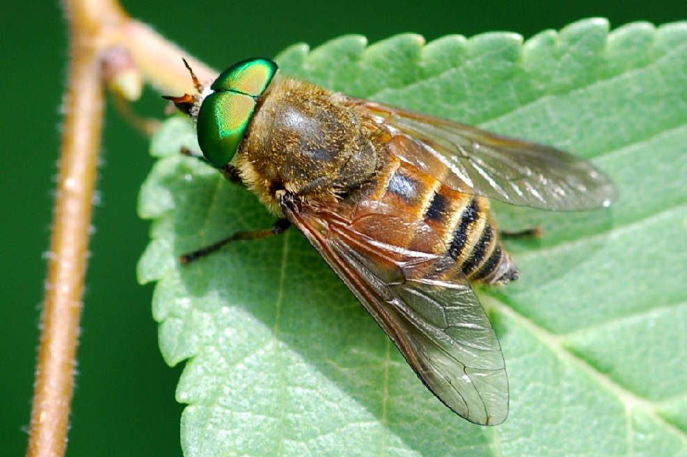 Philipomyia aprica - Tabanidae