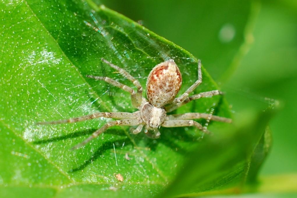 Philodromus sp. - Philodromidae