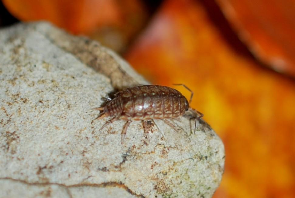 Philoscia muscorum - Philosciidae