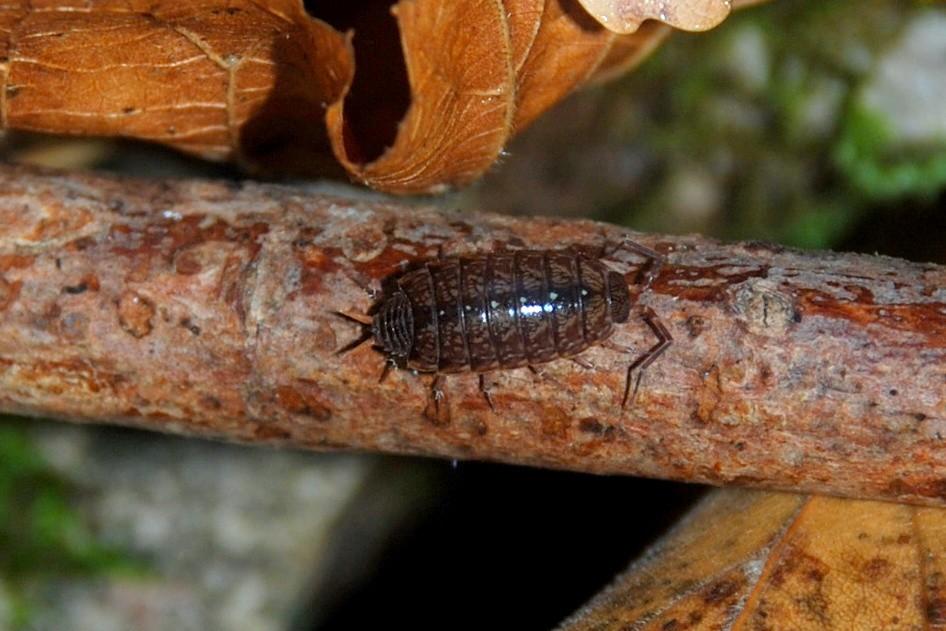 Philoscia sp. - Philosciidae