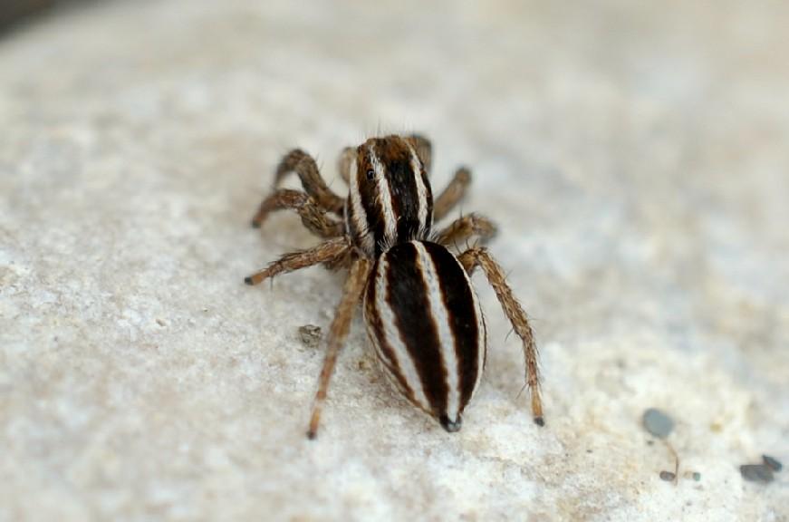 Phlegra bresnieri - Salticidae