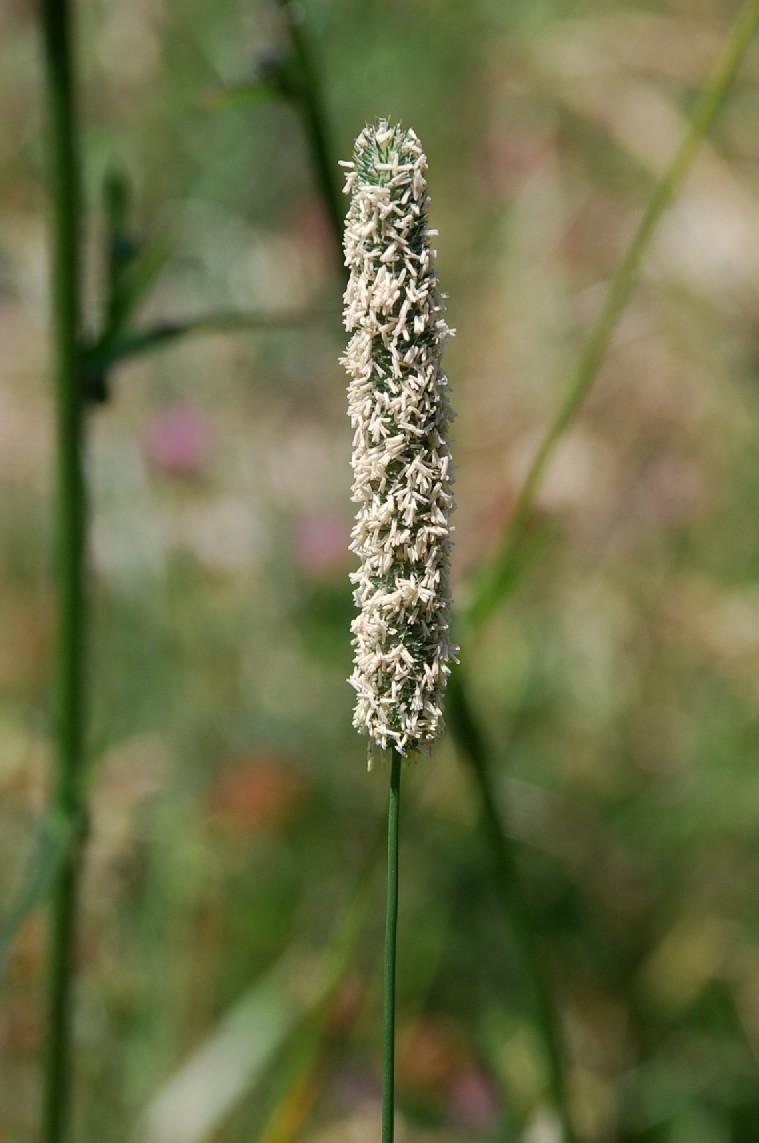 Phleum pratense subsp. pratense 10